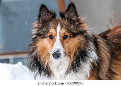 closeup of a male three color shetland sheepdog in Winter