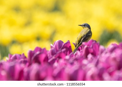 Closeup of a male western yellow wagtail bird (Motacilla flava) singing in a meadow or field with colorful yellow and purple tulips blooming on a sunny day during spring season.