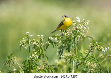 Closeup of a male western yellow wagtail bird (Motacilla flava) singing in wild masterwort Aegopodium podagraria on a sunny day during spring season.