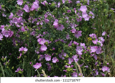 Closeup of Malva sylvestris, common names are common mallow, cheeses, high mallow or tall mallow, blooming in the summer season