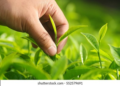 Close-up of man hand picking tea leaf in tea farm in Cameron Highlands, Malaysia