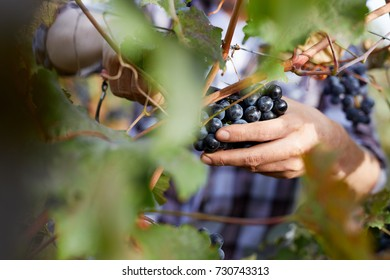 Close-up of man picking grapes with scissors at harvesting in a vineyard