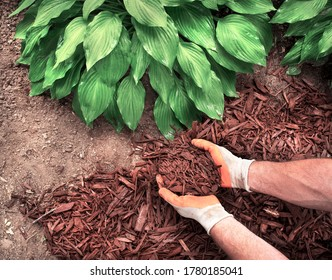 Closeup man wearing gardening gloves applying brown mulch chips from a bag on soil around green hosta plants to control weeds and as a landscape around yard borders in fall and spring
