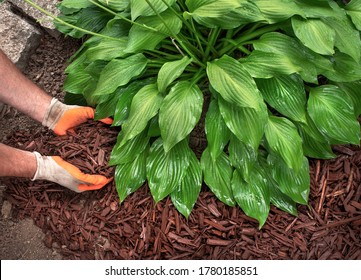 Closeup man wearing gardening gloves spreading brown mulch chips around hosta plants in garden to control weeds during a yard landscaping, creating decorative borders, soil, fall, spring