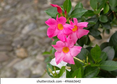Mandevilla vine images stock photos vectors shutterstock closeup of mandevilla rocktrumpet flowers with pink petals and yellow center blooming in italy mightylinksfo