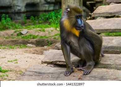 closeup of a mandrill monkey scratching its behind, tropical primate with a colorful face, vulnerable animal specie from Cameroon, Africa
