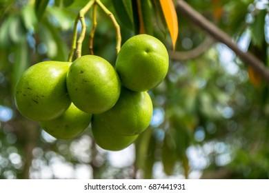 Closeup of Mangoes hanging