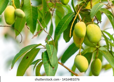 Closeup of Mangoes hanging,mango field,mango farm with sun light effect, agricultural concept,Agricultural industry concept.