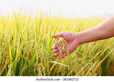 Closeup man's hand with rice field.