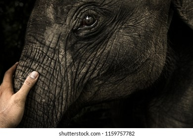 Closeup of a man's hand stroking little elephant's trunk head