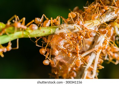 Closeup many red ant moving and carrying food on tree branch