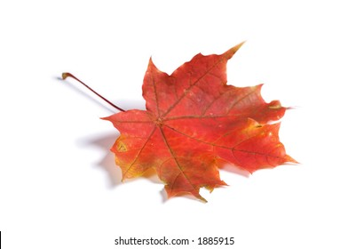Closeup of maple autumn leaf on white background with light shadow