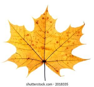 closeup of maple leaf