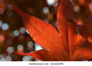 Closeup of maple tree leaves