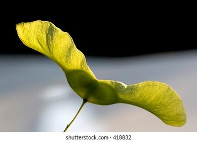 Close-up of maple tree seeds
