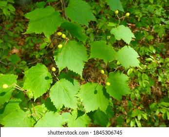 Closeup of a Mapleleaf Viburnum shrub (Viburnum acerifolium) with bright green foliage and berries.