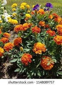 Closeup Marigold flower