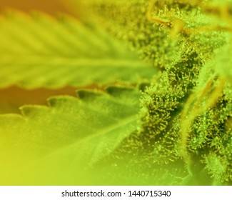 Close-up Marijuana Bud. Macro of trichomes on female cannabis indica plant leaf. Cannabis flower seen under a microscope. tetracanabinol contained in trichomes of marijuana.