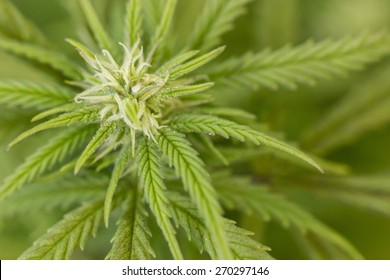 Closeup of Marijuana plant