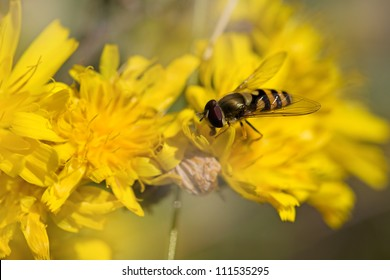 Close-up of a Marmelade Hoverfly on a Dandelion