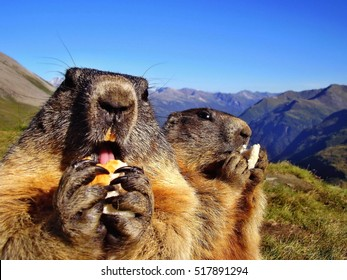 Closeup of marmots eating a food in Alps. Marmot is a mammal living in mountains