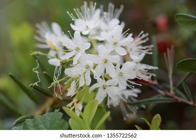 A close-up of marsh Labrador tea flowers. Location: Western Siberian taiga.