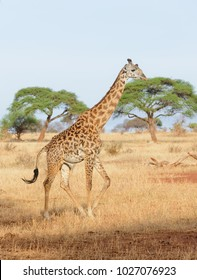 "Closeup of Masai Giraffe (Giraffa camelopardalis tippelskirchi or ""Twiga"" in Swaheli) in the Tarangire National park,Tanzania"
