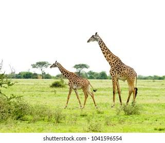 "Closeup of Masai Giraffe (Giraffa camelopardalis tippelskirchi or ""Twiga"" in Swaheli) image taken on Safari located in the Serengeti National park,Tanzania"