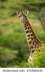 Close-up of Masai giraffe looking over bush