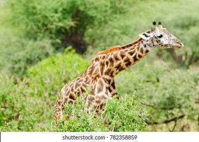 "Closeup of Masai Giraffe (scientific name: Giraffa camelopardalis tippelskirchi or ""Twiga"" in Swaheli) in the Tarangire National park, Tanzania"