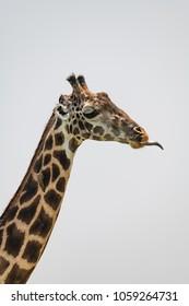 Close-up of Masai giraffe with tongue out
