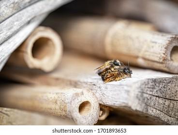 close-up of mason bees mating