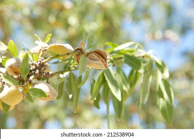 Closeup of mature almonds on the tree ready for harvest in an almond orchard in Central California.
