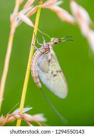 Close-up of a mayfly