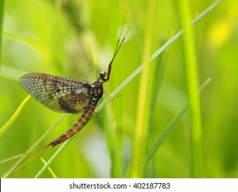 closeup of mayfly (Ephemeroptera) on leaf