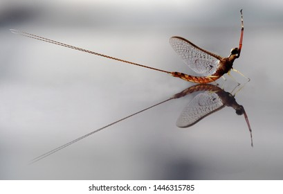 Closeup of mayfly on reflective surface. Unusual and interesting perspective