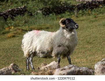 Closeup of Mayo Mountain Sheep, Ireland