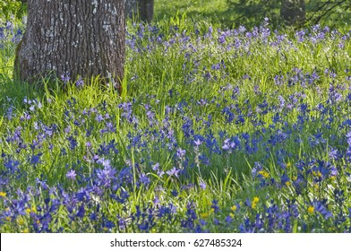 Closeup meadow of blue camas wildflowers with oak tree