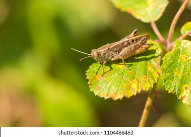 Closeup of a Meadow Grasshopper - Chorthippus parallelus - resting in sunlight on a green leaf