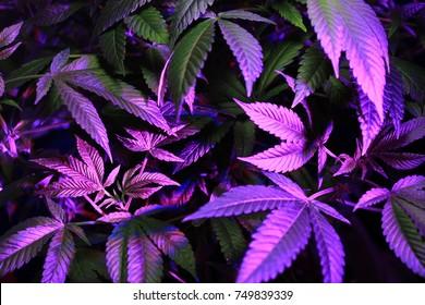 closeup of a medical Marijuana plant
