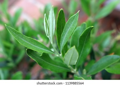 Closeup of a mediterranean olive branch against a blurry background texture