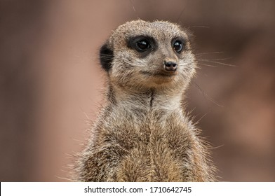 Close-up of a meerkat's head
