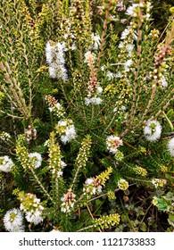 Closeup of Melaleuca Paperbarks white flower spikes, also called Honey-myrtles, Tea-tree