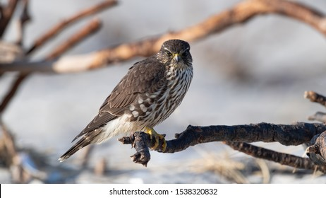 Closeup of a Merlin Falcon perched on the beach.