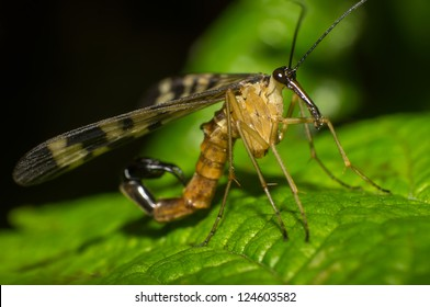 Close-up of the mighty scorpion fly