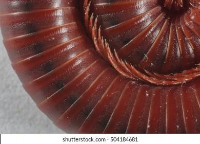 Close-up of a millipede