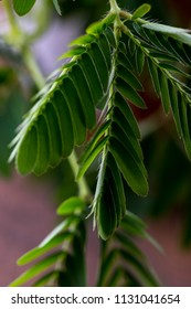 closeup of a mimosa leaf