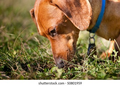 A closeup of a miniature Dachshund sniffing in the grass.