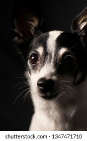 Closeup of a Miniature Fox Terrier with a black background