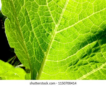 Closeup of Miniature Harvest Blend Pumpkin Leaf, Xylem and Phloem, With Sunlight Shining Through